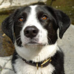 Border collie labrador retriever mix info