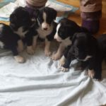 Border collie labrador retriever mix puppies for sale