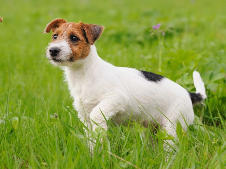 Border terrier x jack russell information