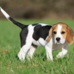 Boy names for a Beagle puppy