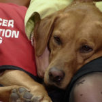 Cancer common in labrador retrievers