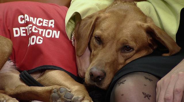 Cancer common in labrador retrievers