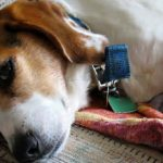 Caring for a pregnant Beagle