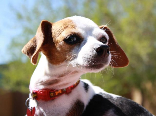Chihuahua and Beagle mix dog