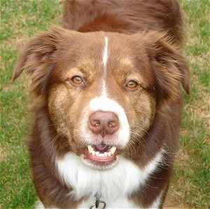 Chocolate labrador retriever border collie mix