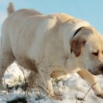 Diet for overweight labrador retriever