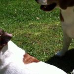 Difference between jack russell terrier and beagle
