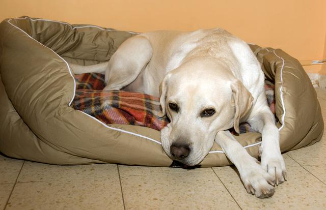 Dog pregnancy labrador retrievers