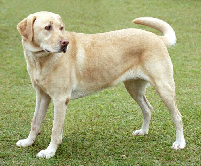 English labrador retriever ideal weight
