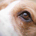 Eye diseases in beagles