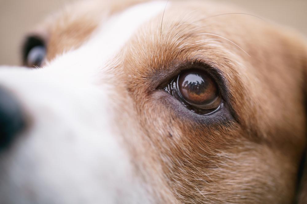 Eye diseases in beagles