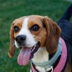 Famous female Beagle names