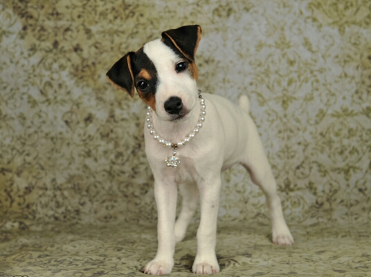 Girl Dog Names For A Jack Russell Terrier
