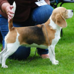 Grooming a Beagle for show