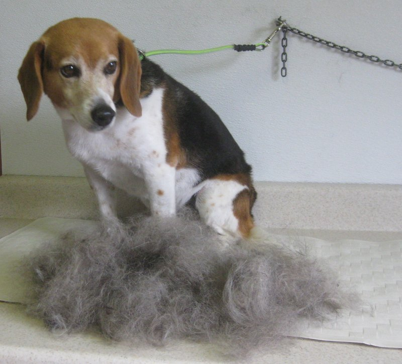 Grooming Beagle hair