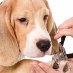 Grooming Beagles nails