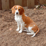 How big are Beagles at 4 months