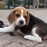 how big are Beagles at 9 weeks