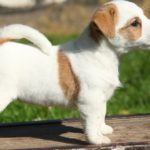 How can i potty train my jack russell terrier