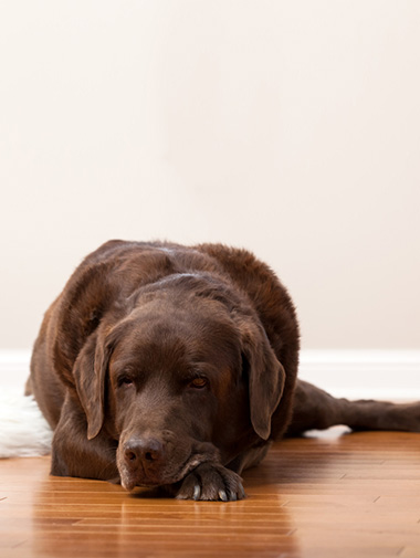 How can i tell if my labrador retriever is pregnant