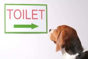 How do i potty train a Beagle