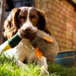How Do I Train My Beagle to Hunt