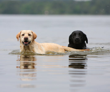 How long can a labrador retriever swim