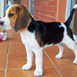 How much does a Beagle weight at 3 months