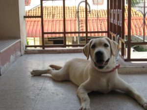 how much should a 6 month old labrador retriever weight