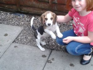 How much should a Beagle weigh at 9 weeks