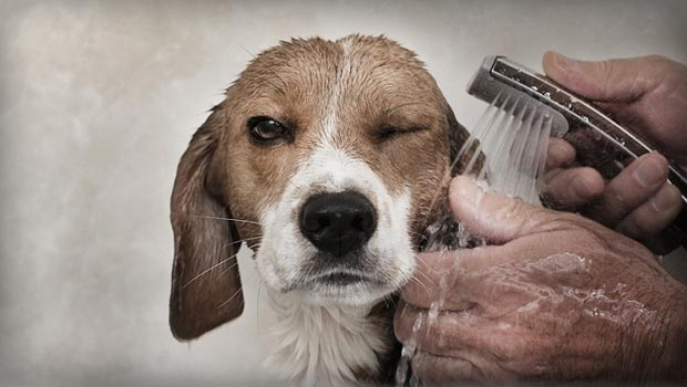 How often should you wash a Beagle