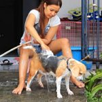 How often to wash Beagles