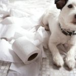How to potty train jack russell terrier