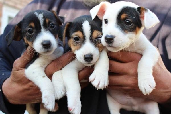 How to potty train jack russell terrier puppies