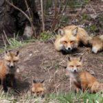 How to train a beagle to hunt fox