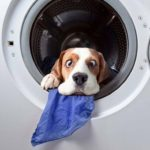 How to wash a Beagle