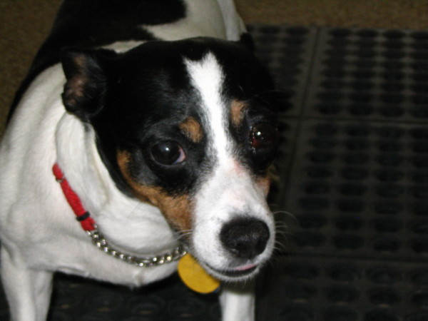 Information jack russell rat terrier mix