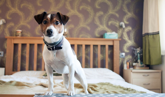 Information om jack russell terrier
