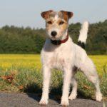 Jack russel terrier informationen