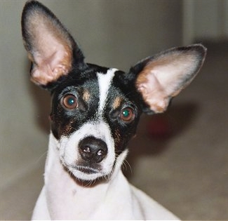 Jack russell rat terrier information