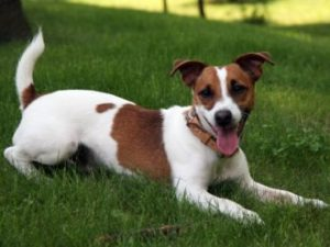 Jack russell terrier beagle mix pictures