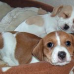 Jack russell terrier beagle mix puppies for sale