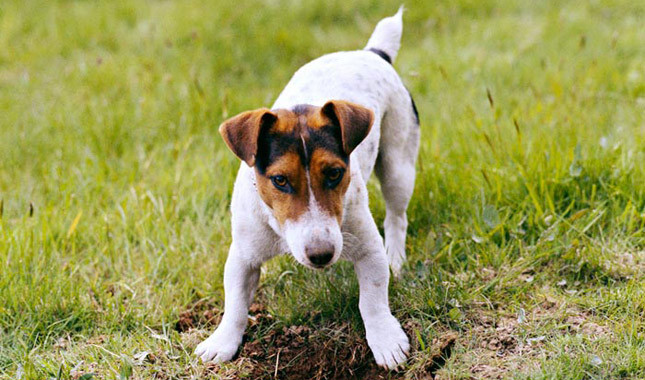 Jack russell terrier eating dirt