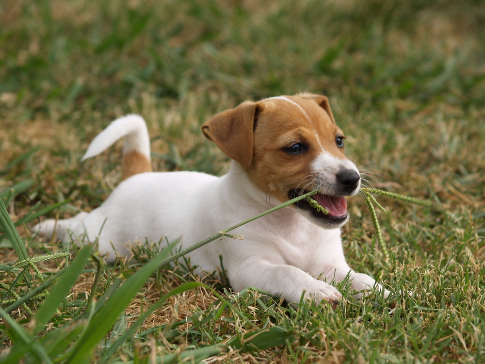 Jack russell terrier eating grass