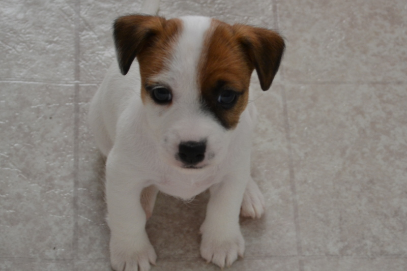 Jack russell terrier potty training puppies
