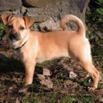 Jack russell terrier pug mix information