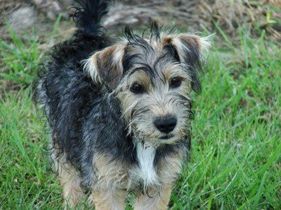 Jack russell terrier schnauzer mix information