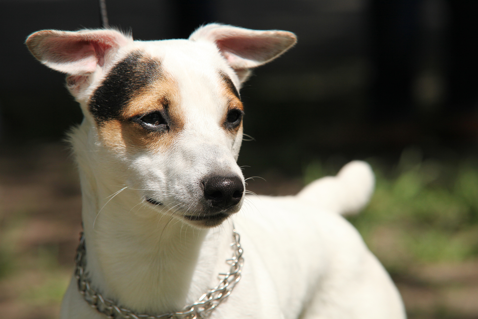 Jack russell terrier stopped eating
