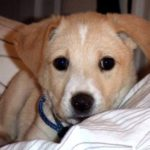 Labrador and Beagle mix puppies