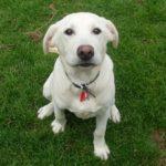 Labrador retriever 6 months old weight